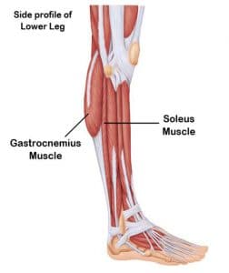 The Soleus – Fun Body Facts – Massage by Wil Adams | St. George ...